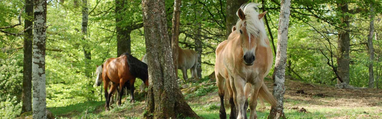A group of horses going through a forest
