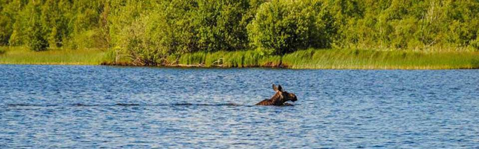 A swimming Swedish moose crossing a blue summer lake